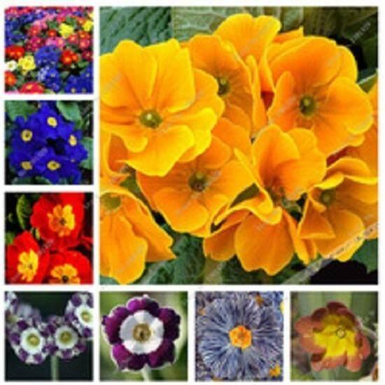 3x Primula Flower Seeds- LOCAL READY STOCKS