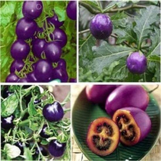 3x Purple Cherry Tomoto Seeds- LOCAL READY STOCKS