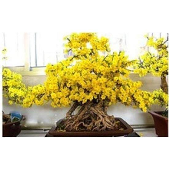 3x Wintersweet Yellow Bloom Flower Seeds- LOCAL READY STOCKS