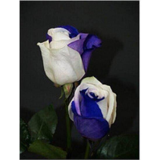3x Packs Blue/White Rose Flower Seeds- LOCAL READY STOCKS