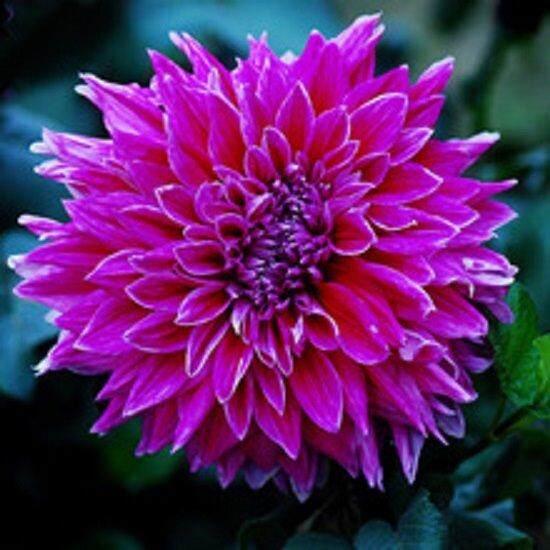 3x Purple Dahlia Flower Seeds- LOCAL READY STOCKS