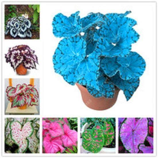 3x Coleus Flower Seeds- LOCAL READY STOCKS