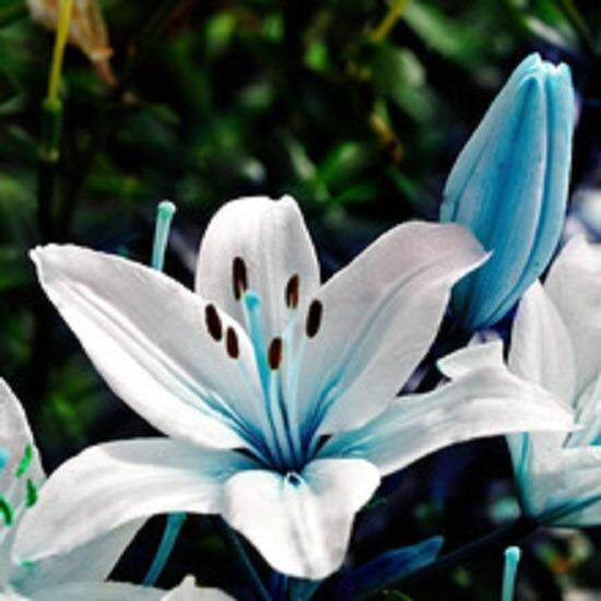3x Blue Heart Lily Flower Seeds- LOCAL READY STOCKS