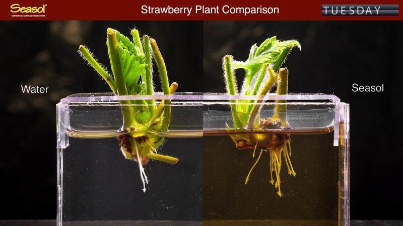 Seasol Experiment on Strawberry Plant