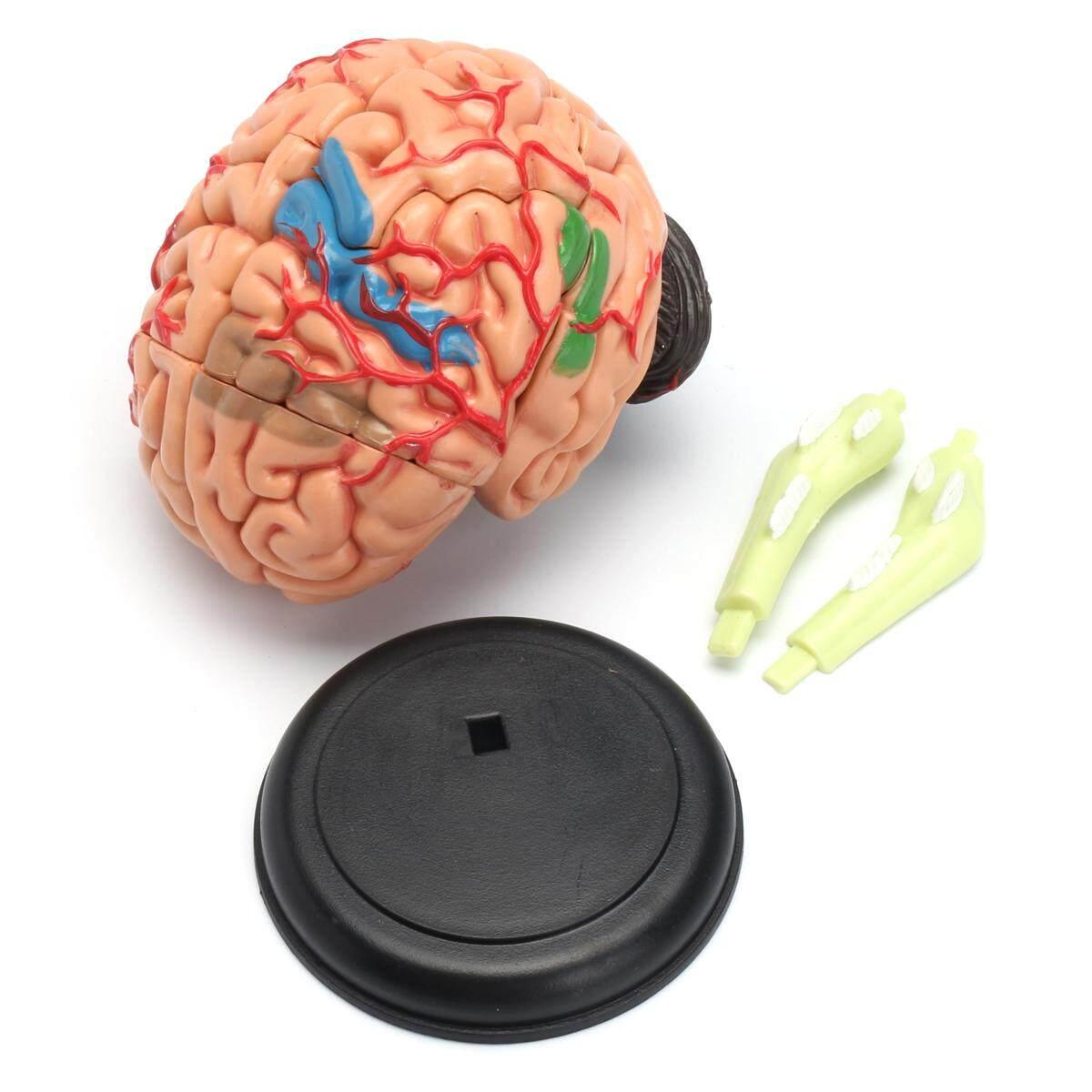 Model Otak Sumber Belajar Anatomi Manusia Mahasiswa Kedokteran Realistis Penyangga Amerika Serikat-