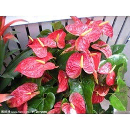 3x Pink Anthurium Andraeanu Flower Seeds- LOCAL READY STOCKS