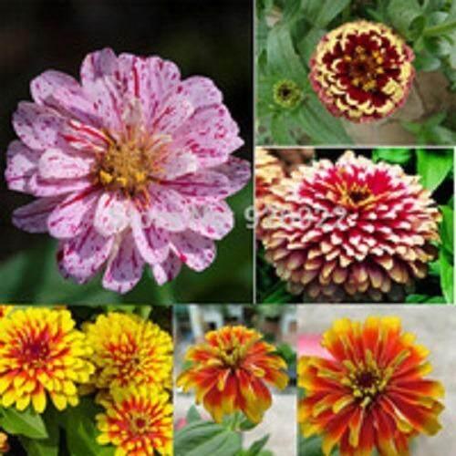 3x Zinnia Elegans Flower Seeds- LOCAL READY STOCKS