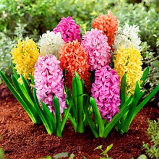 3x Hyacinthus Orientalis Flower Seeds- LOCAL READY STOCKS