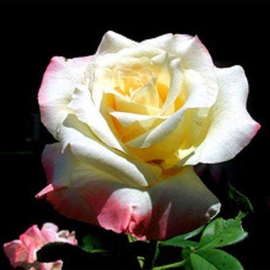 3x Packs White Rose Flower Seeds- LOCAL READY STOCKS
