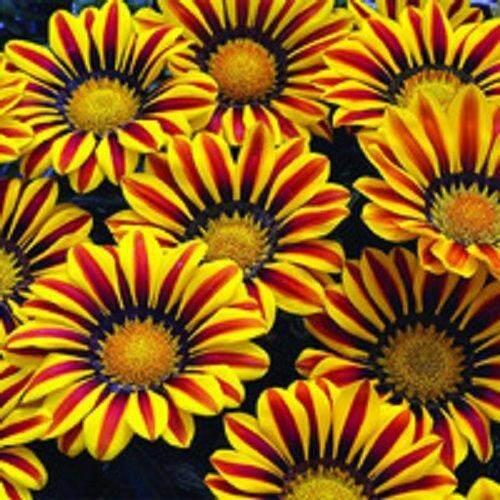3x Gazania Rigens Chrysanthemum Flower Seeds- LOCAL READY STOCKS