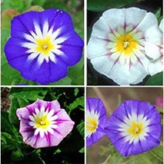 3x Tricolor Convolvulus Flower Seeds- LOCAL READY STOCKS