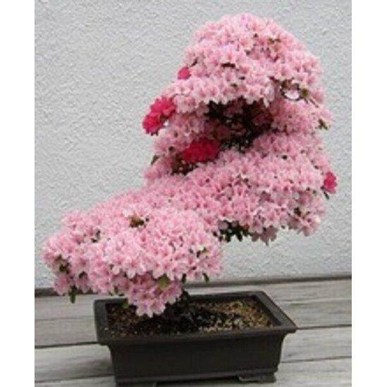 3x Pink Japanese Cherry Blossom Flower Seeds- LOCAL READY STOCKS