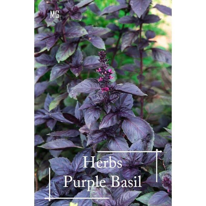 Purple Basil seeds - 50 seed