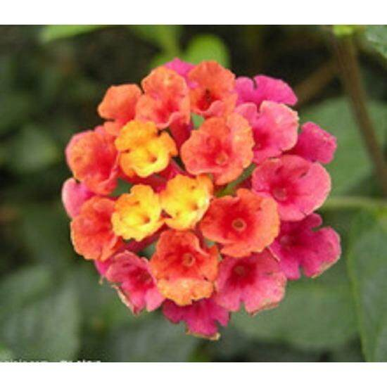 3x Lantana Flower Seeds- LOCAL READY STOCKS