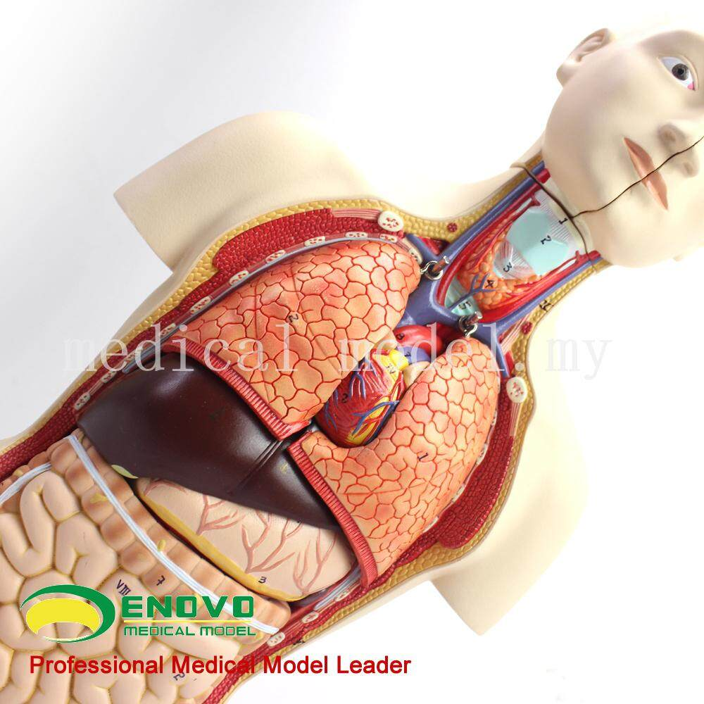 Features Enovo Anatomical Model Of Male And Female Organs Of Middle ...