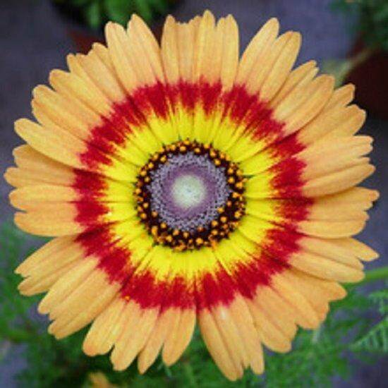 3x Garland Chrysanthemum Flower Seeds- LOCAL READY STOCKS