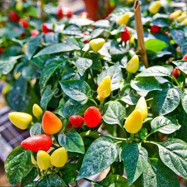 Detail Gambar New 20pcs Garden Ornamental Hot Pepper Seed Organic Chilli Pepper Seeds Terbaru