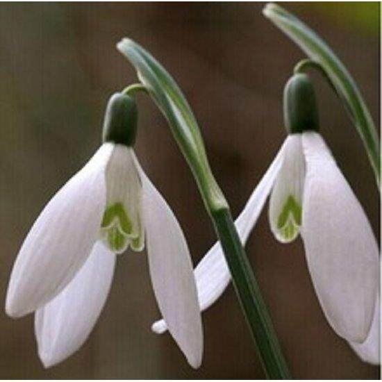 3x Snowdrop Flower Seeds- LOCAL READY STOCKS