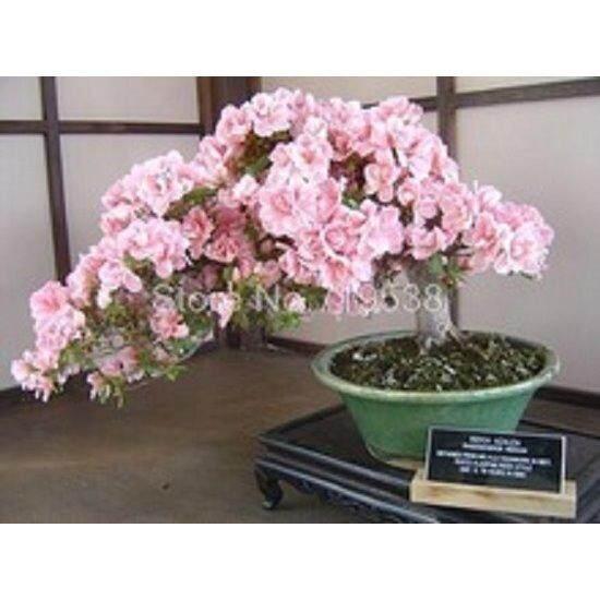 3x Cherry Blossom Sakura Flower Seeds- LOCAL READY STOCKS