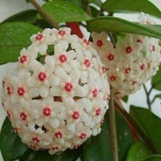 3x Hoya Flower Seeds- LOCAL READY STOCKS