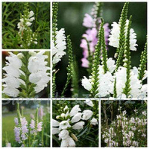 3x Physostegia virginiana Flower Seeds- LOCAL READY STOCKS