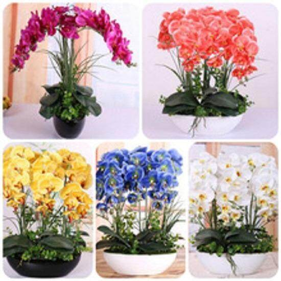3x Phalaenopsis Orchid Flower Seeds- LOCAL READY STOCKS