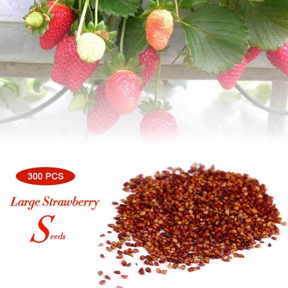 300 Pcs/pack Super Besar Biji Stroberi Rumah Taman Merah Warna Lezat Buah Tanaman-