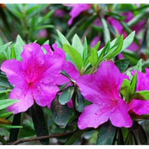 3x Rhododendron Flower Seeds- LOCAL READY STOCKS