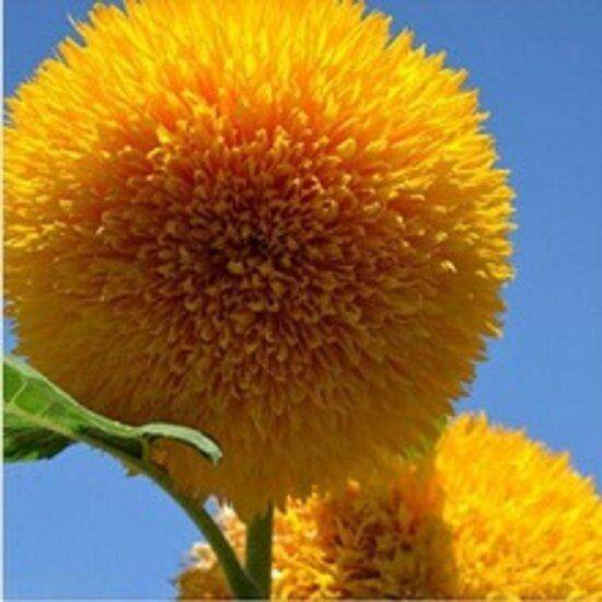 3x Teddy Bear Sunflower Seeds- LOCAL READY STOCKS
