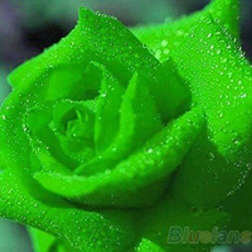 3x Packs Midnight Supreme Rose Bush Flower Seeds- LOCAL READY STOCKS