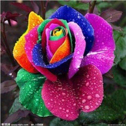 3x Packs Rainbow Rose Flower Seeds- LOCAL READY STOCKS