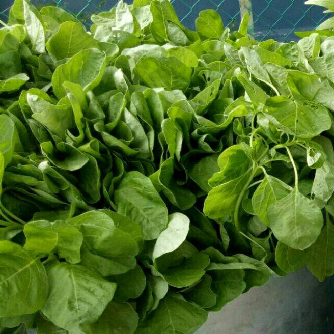 Green spinach vegetable seeds