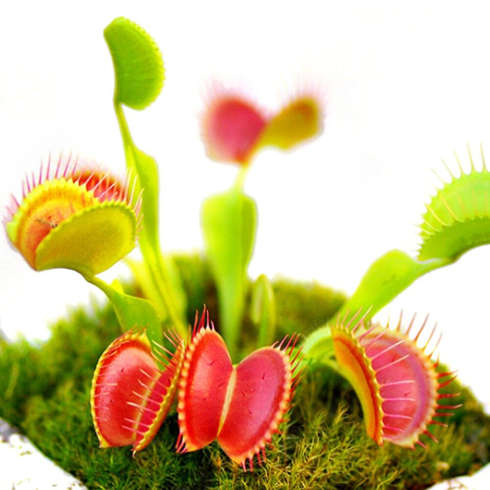 Outdoor & Garden - 100 PIECE(s) Interesting Insectivorous Plant Seeds Common Nepenthes Fly Trap Dionaea M - 2 / 1