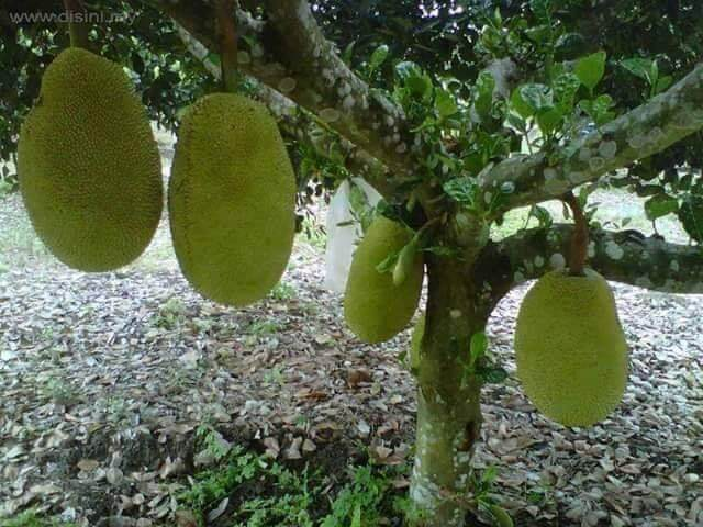 Pokok Nangka Madu Hybrid