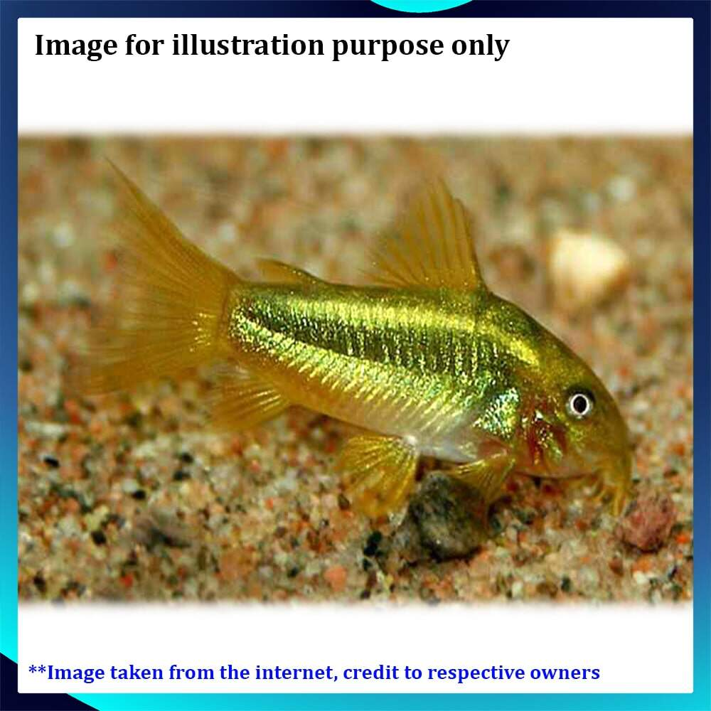 Gold Laser Corydoras LF Live Fish - 1pc