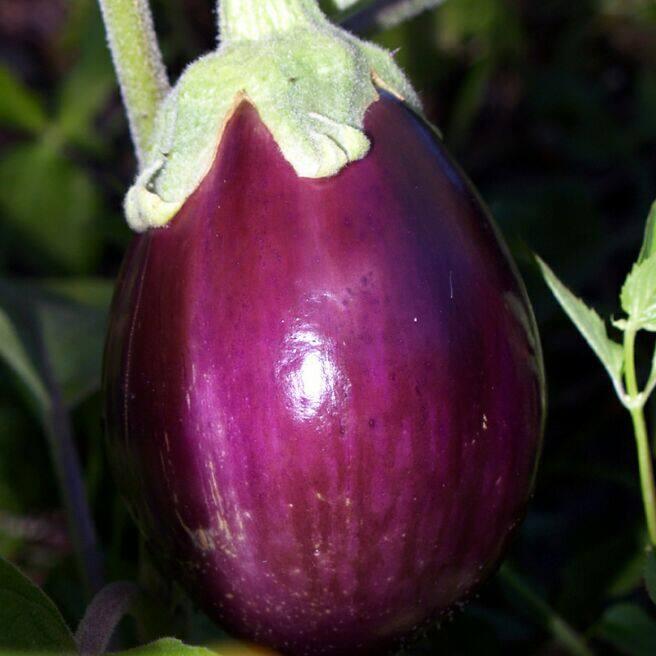round purple variety eggplant