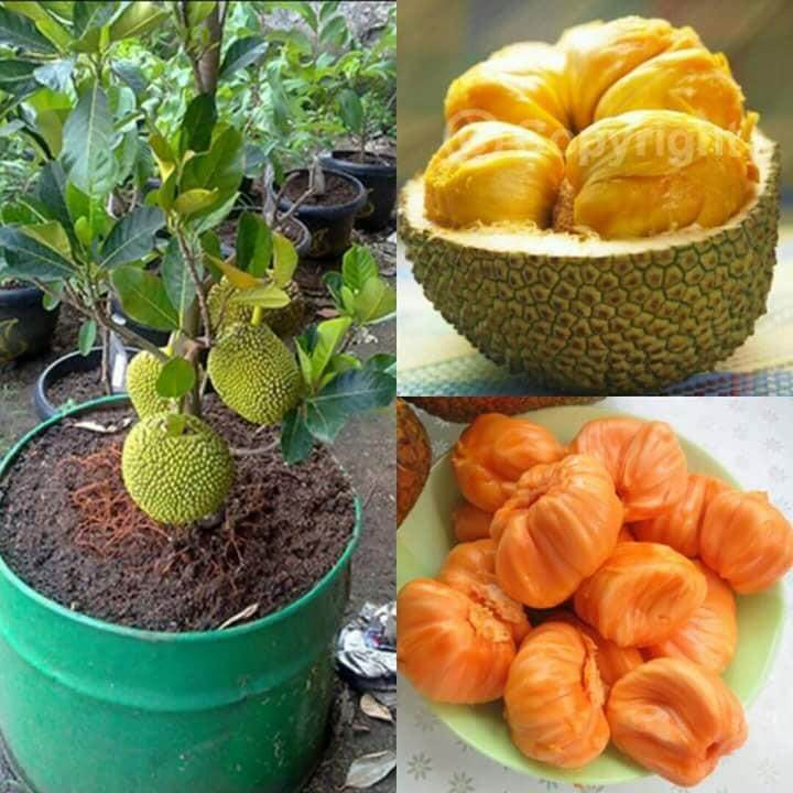 Pokok Cempedak Durian Hybrid