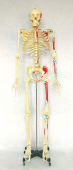 Harga 168CM Human Skeleton with Flexible Spine, Muscle Paintings, and Arteries