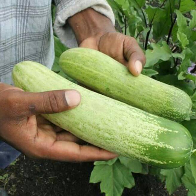 Cucumber seeds non-hybrid