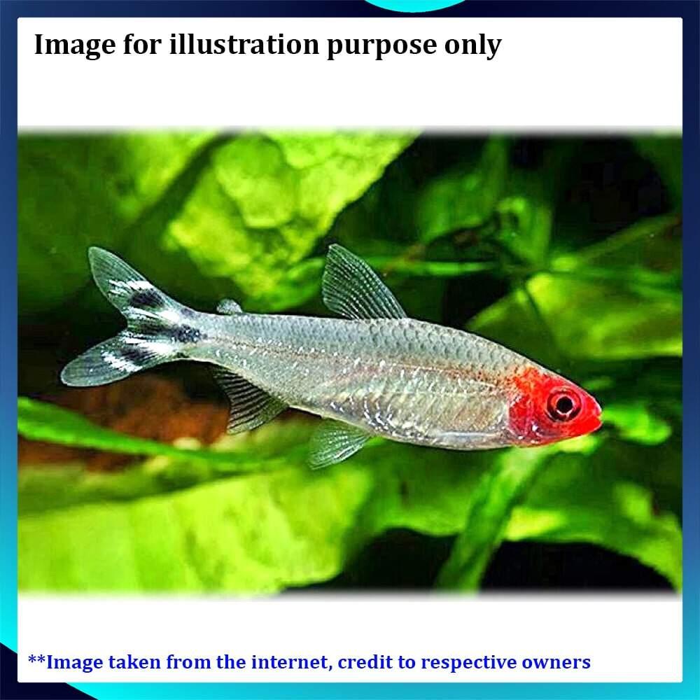 Rummy Nose Tetra LF Live Fish - 5pc