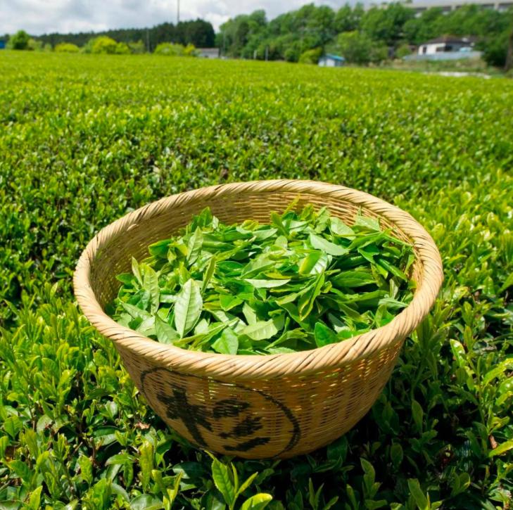 Harada Premium Japanese Green Tea (SENCHA) 500g Coffee or Tea