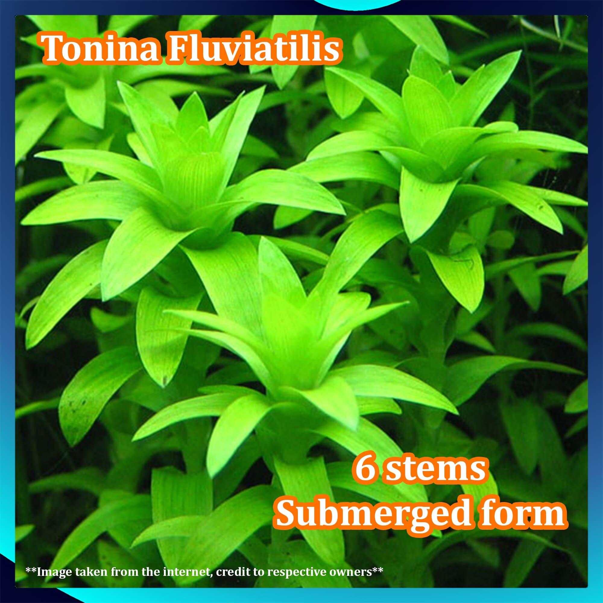 Tonina Fluviatilis LP Aquatic Plant Submerged Form - 6 Stems