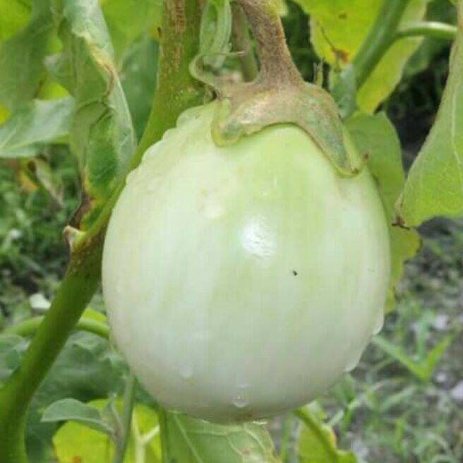 QNF Round Green Eggplant : non-gmo, heirloom seeds