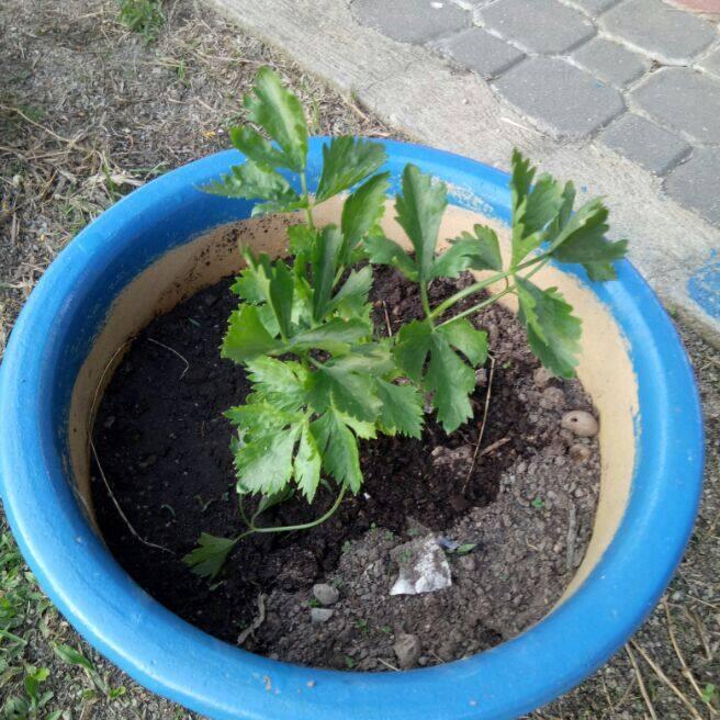 coriander / ketumbar non-hybrid seeds
