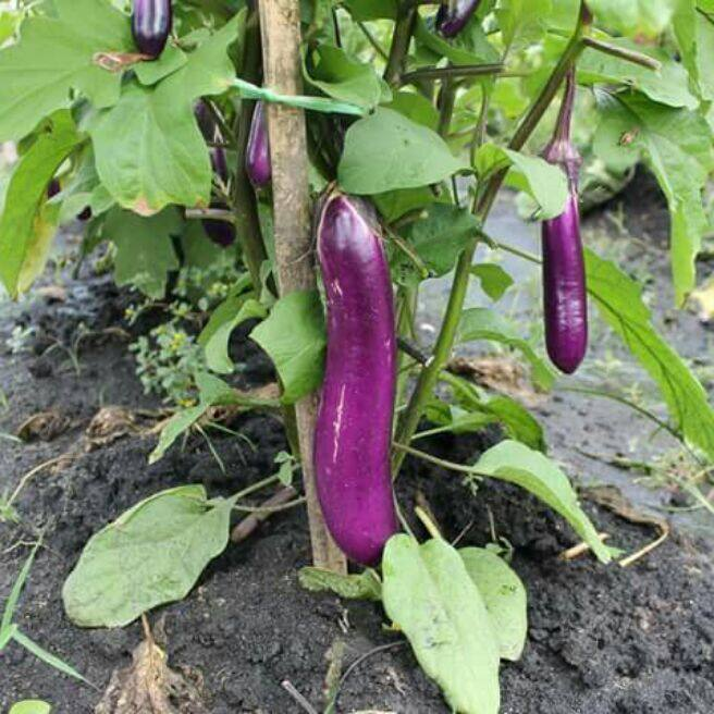 long purple eggplant non-hybrid seeds