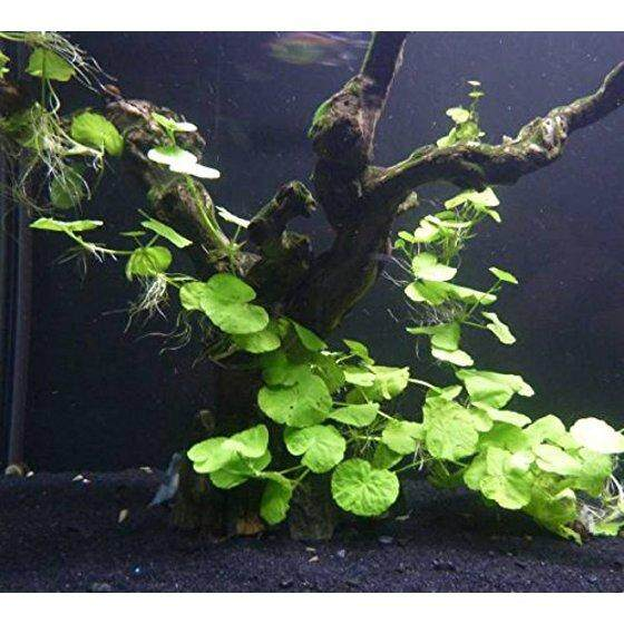Aquarium Pennywort / Penny Worth Plant
