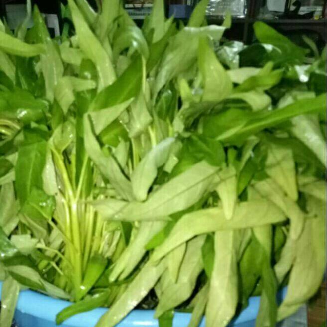 Kangkung Siam non gmo seeds.
