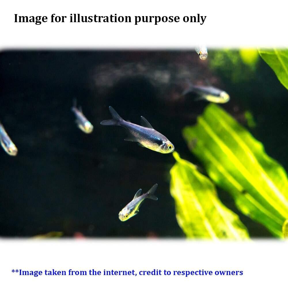 Black Diamond Neon Tetra LF Live Fish - 5pc